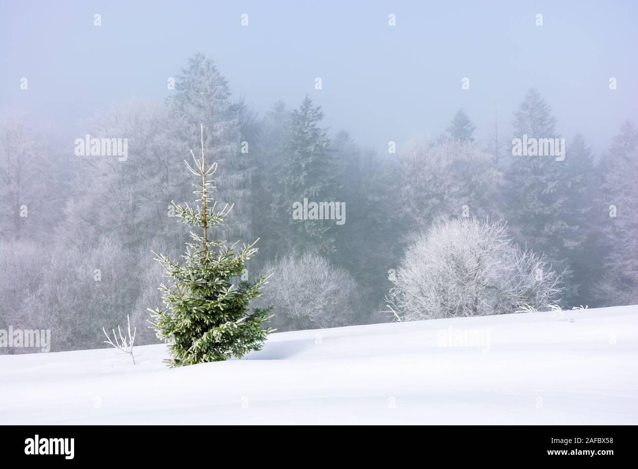 Pequeño abeto en el prado cubierto de nieve. bosque lejano en la escarcha. niebla y el periodo de heladas. gran Navidad humor. maravilloso fondo fo Foto de stock