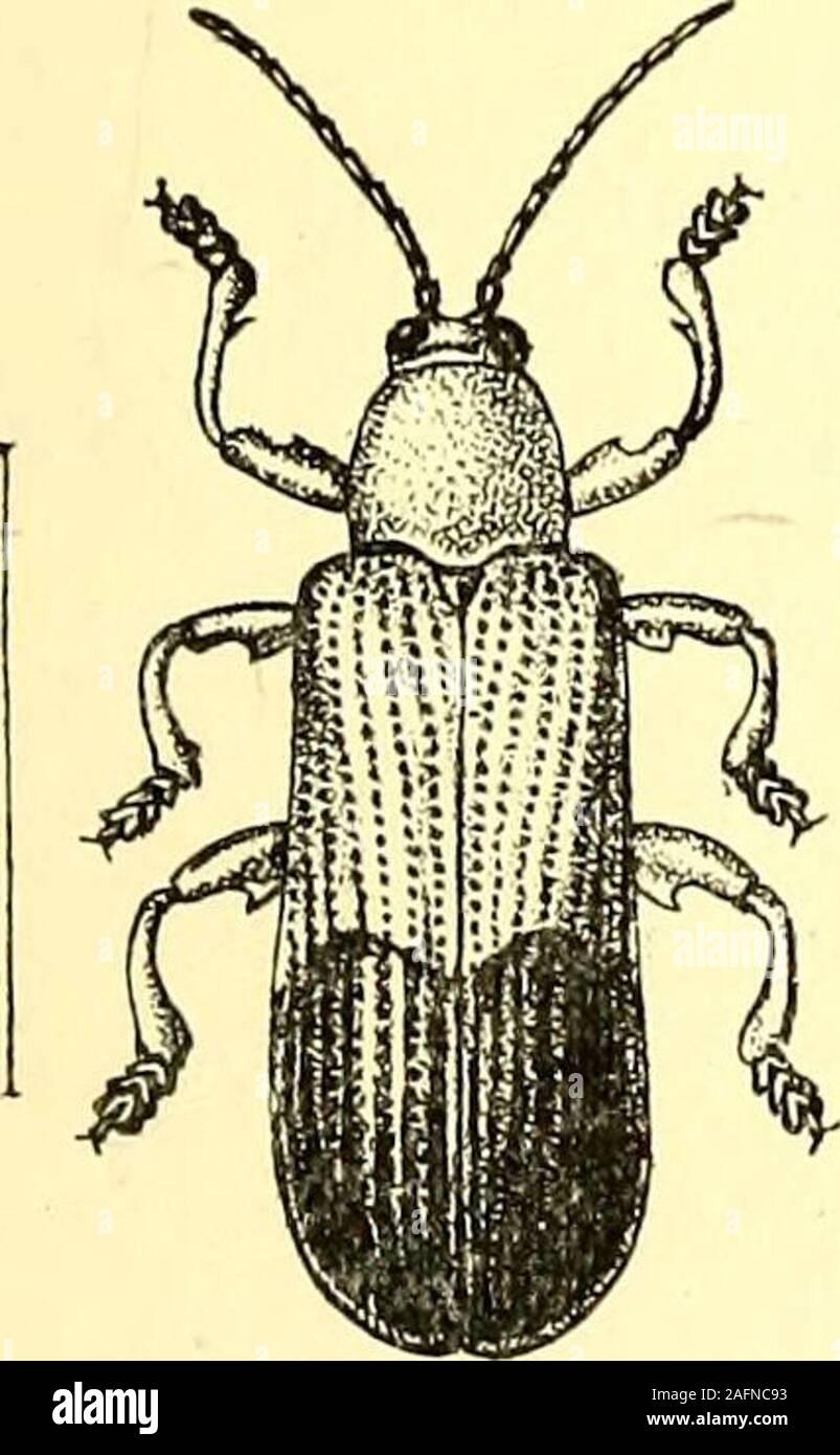 . Coleoptera: introducción general y Cicindelidae y Paussidae. ight, gruesas espinas ; mientras que el Cassi-diios, o tortuga-escarabajos, aunque variable en forma, están todas dotadas con más o menos pronunciada ex-panded márgenes, debajo del cual el cuerpo andhead están totalmente ocultos ; su outlinevaries en forma, pero son generalmente más orless circulares o con forma de escudo, y a menudo hemi-esférica o sub-semiesférica. Muchos de thespecies brilliantmetallic son notables por sus colores en la vida, que unfortunatelyfade muy rápidamente después de la muerte de theIndian ; algunas especies son muy hermosas, y yo Foto de stock