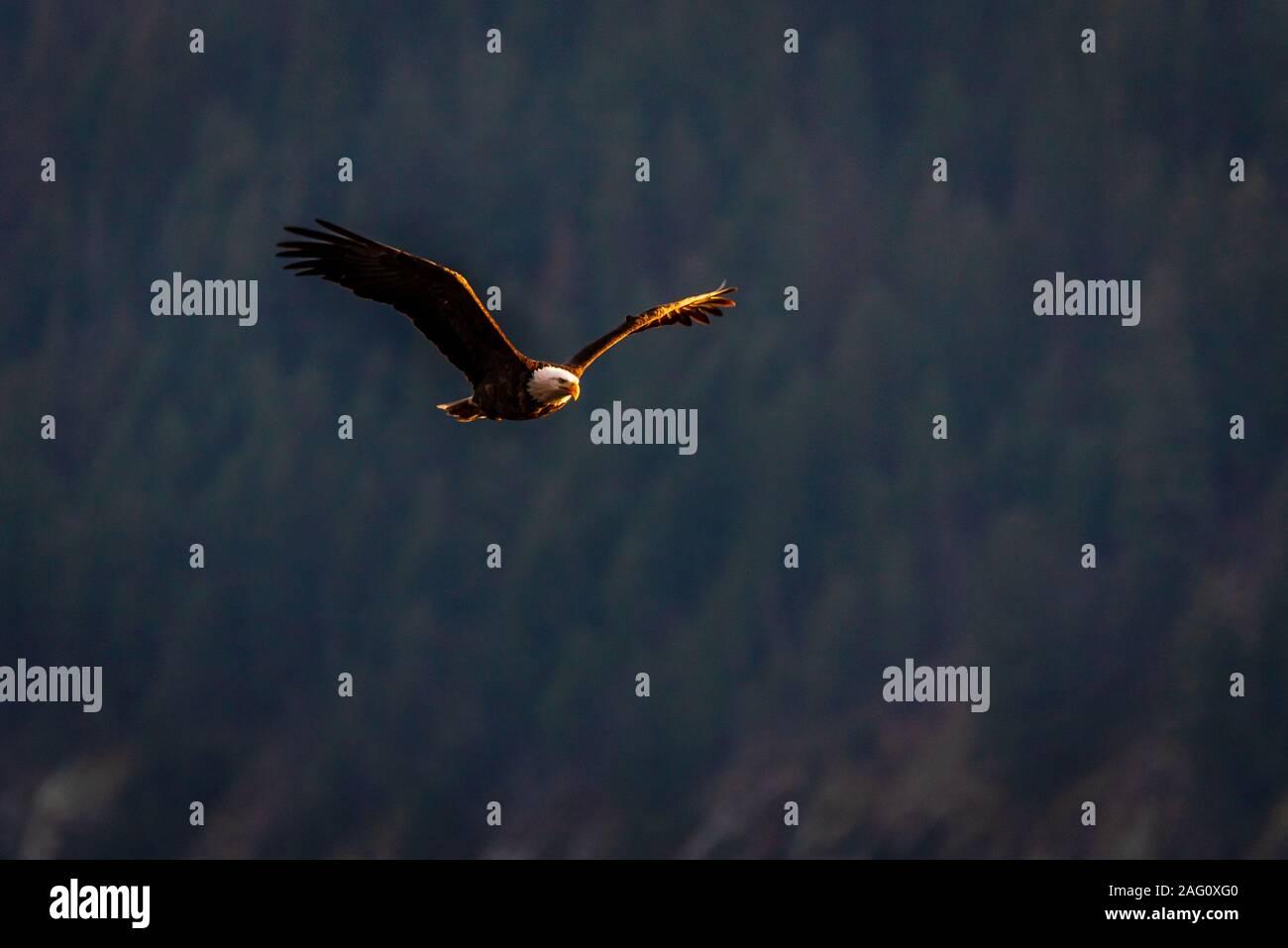 Aguila Calva cazando en la noche Foto de stock