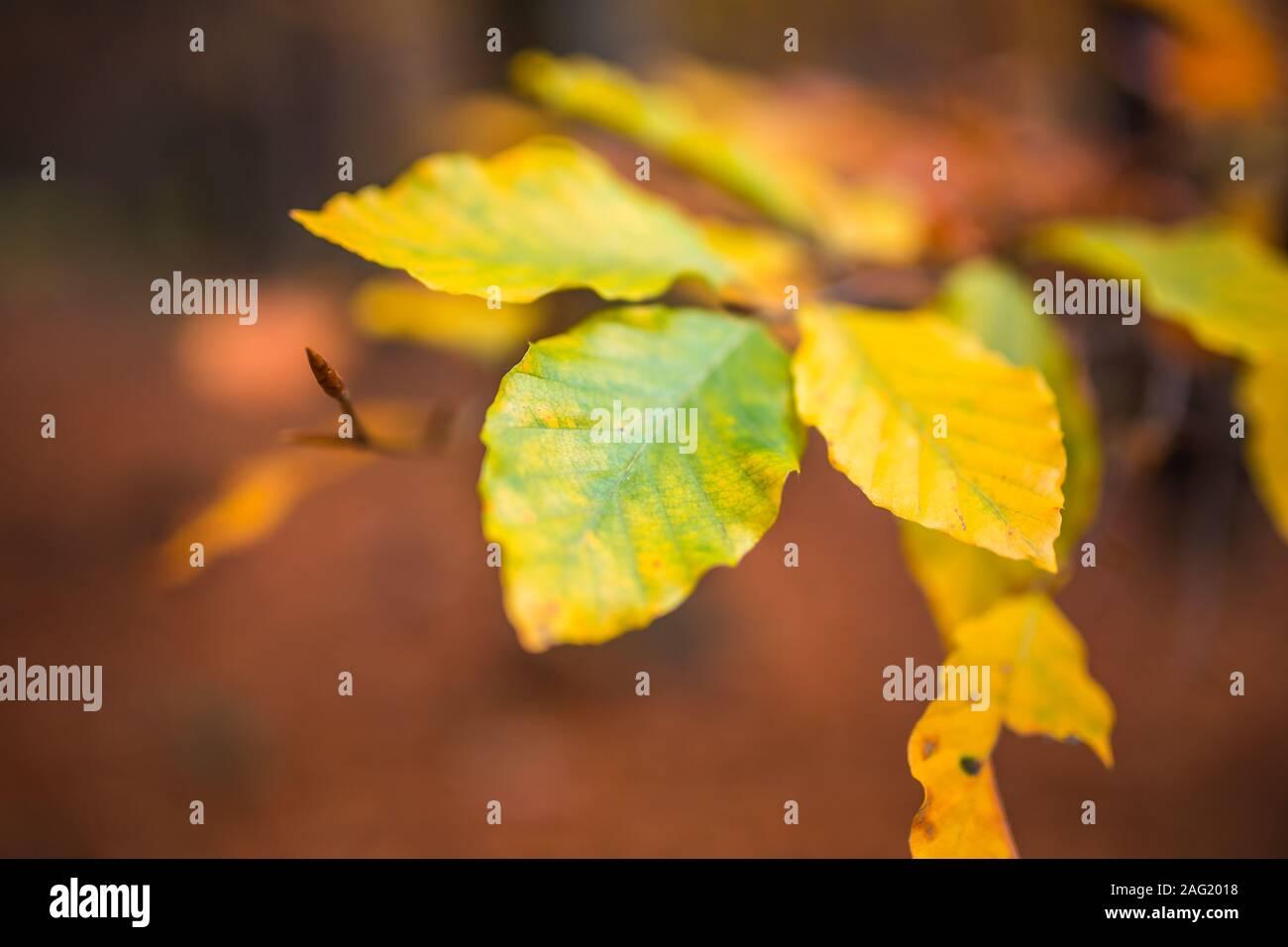 Cerrar imagen de naranja hojas de otoño en suave luz dorada en Forrest. Foto de stock