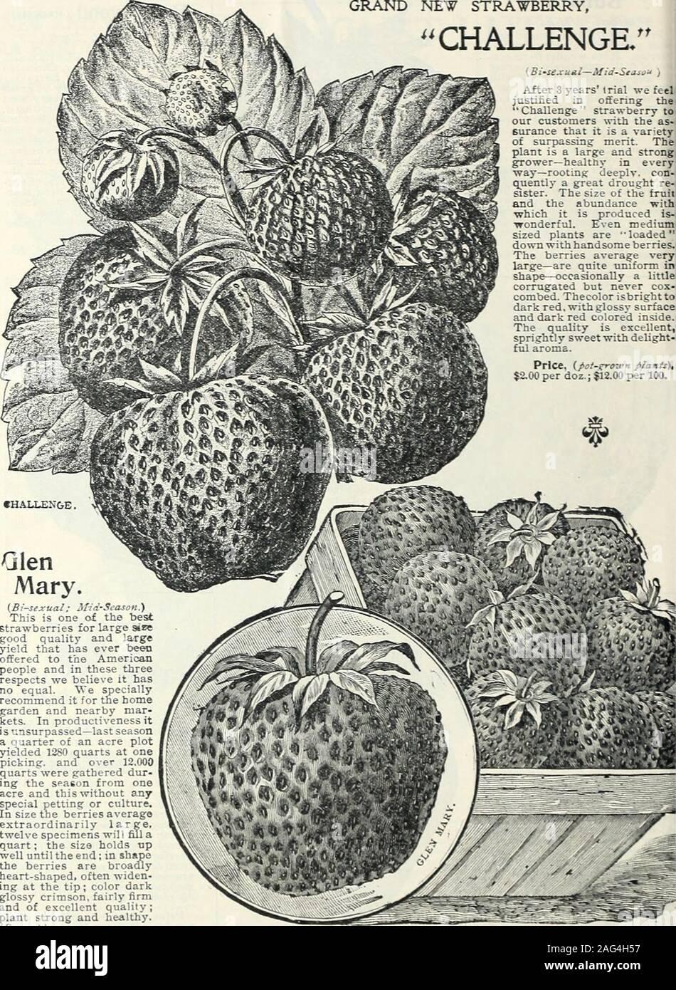 """. A mediados de verano catálogo 1902 : plantas para el verano de siembra, semillas para la siembra de verano, césped y jardín requisitos, insectos y hongos destructores. Mc.Por doz.; $3.00 por 1(K). ≪demasiado4r""""d por mvll, a<td para pofftayw lOc t9 fl un *Vfn ptic* ssd Mc al centenar de precio. * 6 PETBH HENTDERSON i Co., Nueva York.-POT-GRQ-U-X STRA-^^Merry plantas. Nuevo gran STRA^TBERRY, desafío. (Bi-iejcual-Media i después de 3 años de juicio nos feeljustified ofreciendo theChallenge strawberry anuestros clientes rith como surance que es una amplia variedadde sobrepasando el mérito. Theplant es un grande y fuerte 1agricultor-sano en cada Foto de stock"""