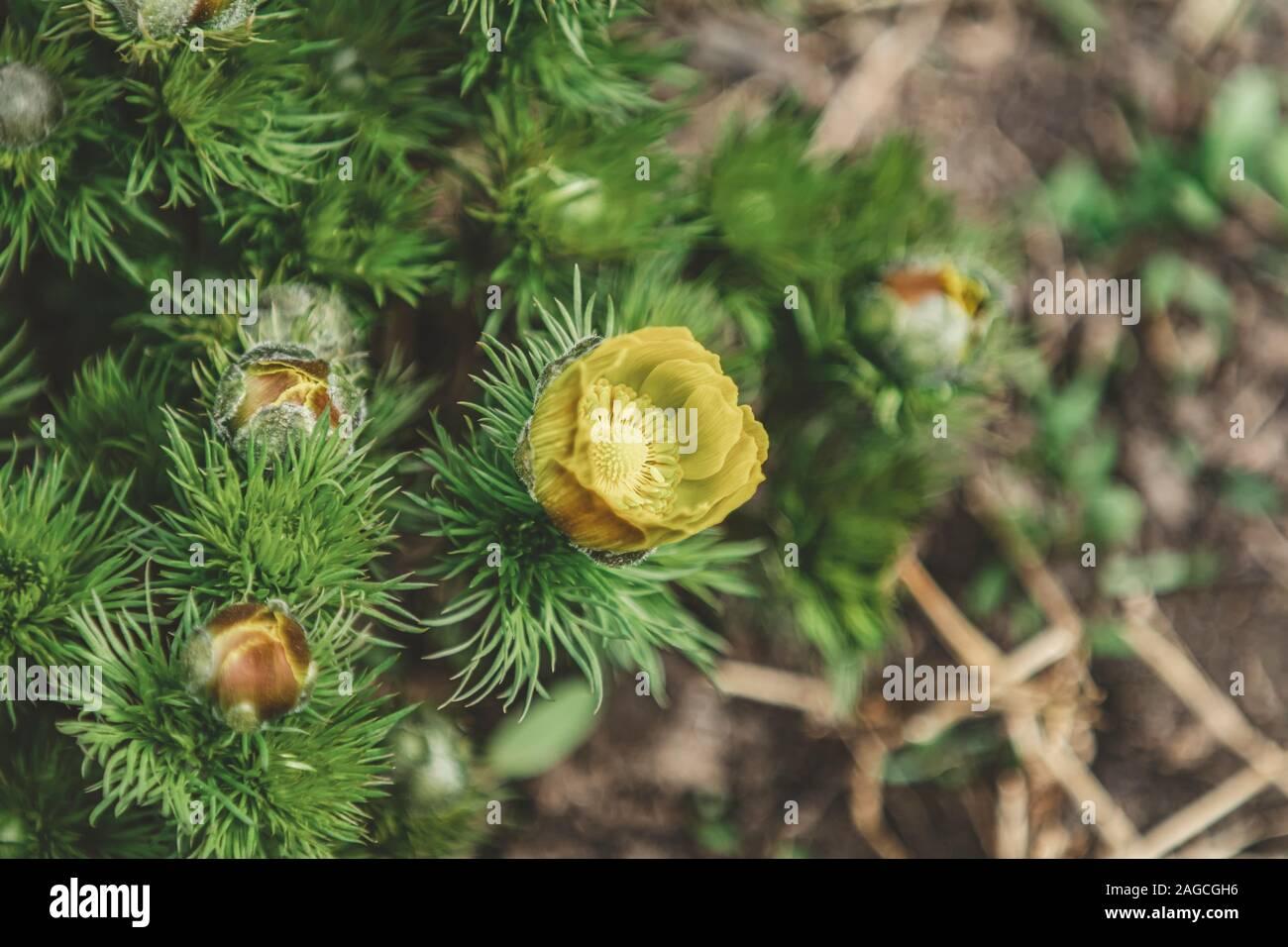 False hellebore florece en la primavera. Hermosas flores de primavera amarillo de plantas en el día de primavera fría. Bella primavera con antecedentes shal Foto de stock
