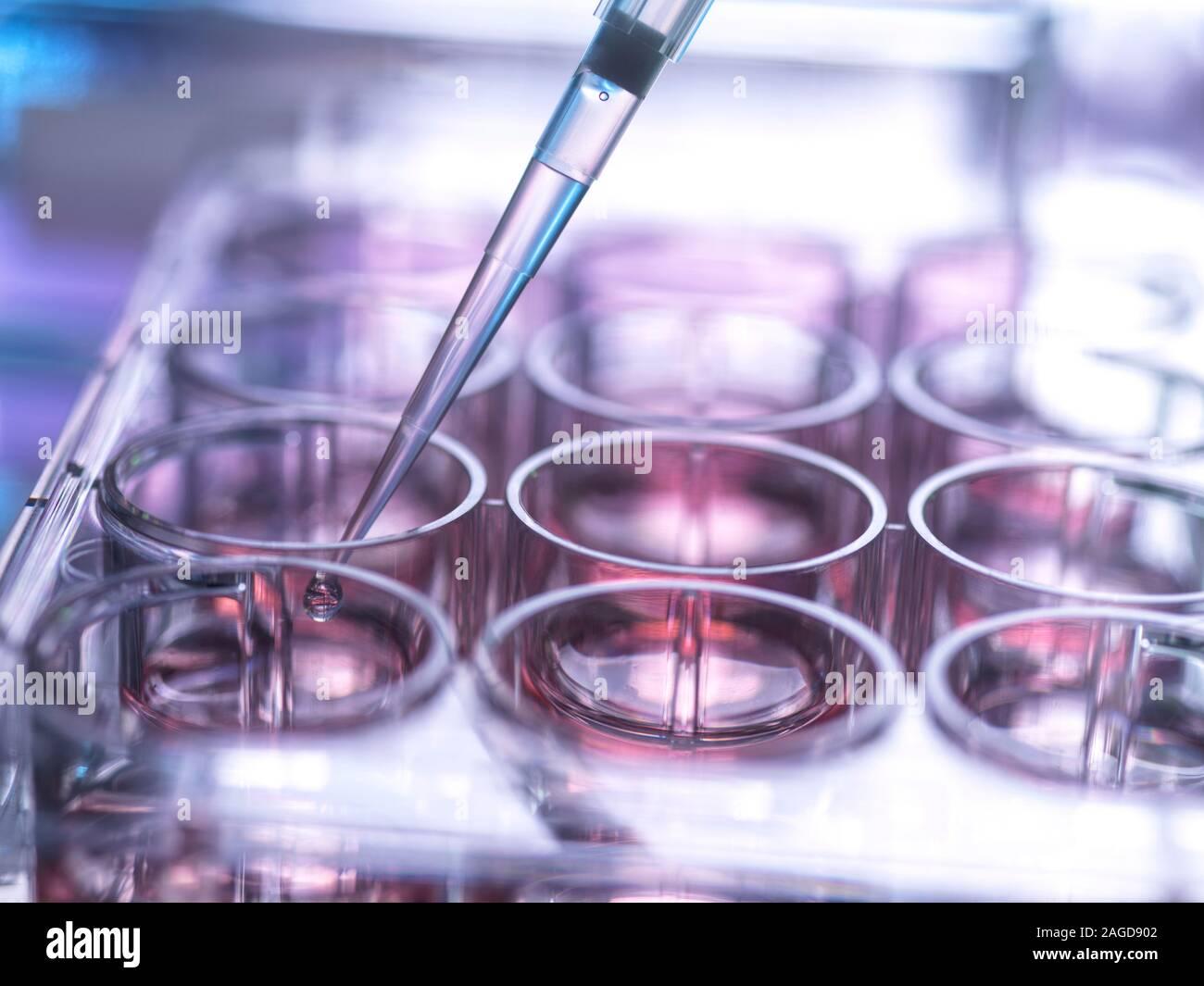 Muestra celular siendo pipetted en multi y placa que contiene un medio de crecimiento en laboratorio Foto de stock