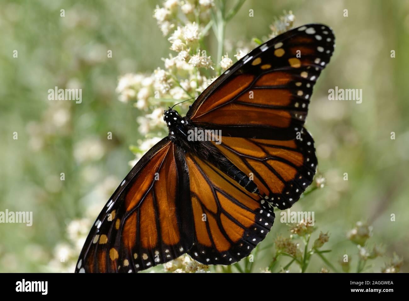 Mariposa Monarca alimentándose de flores Foto de stock