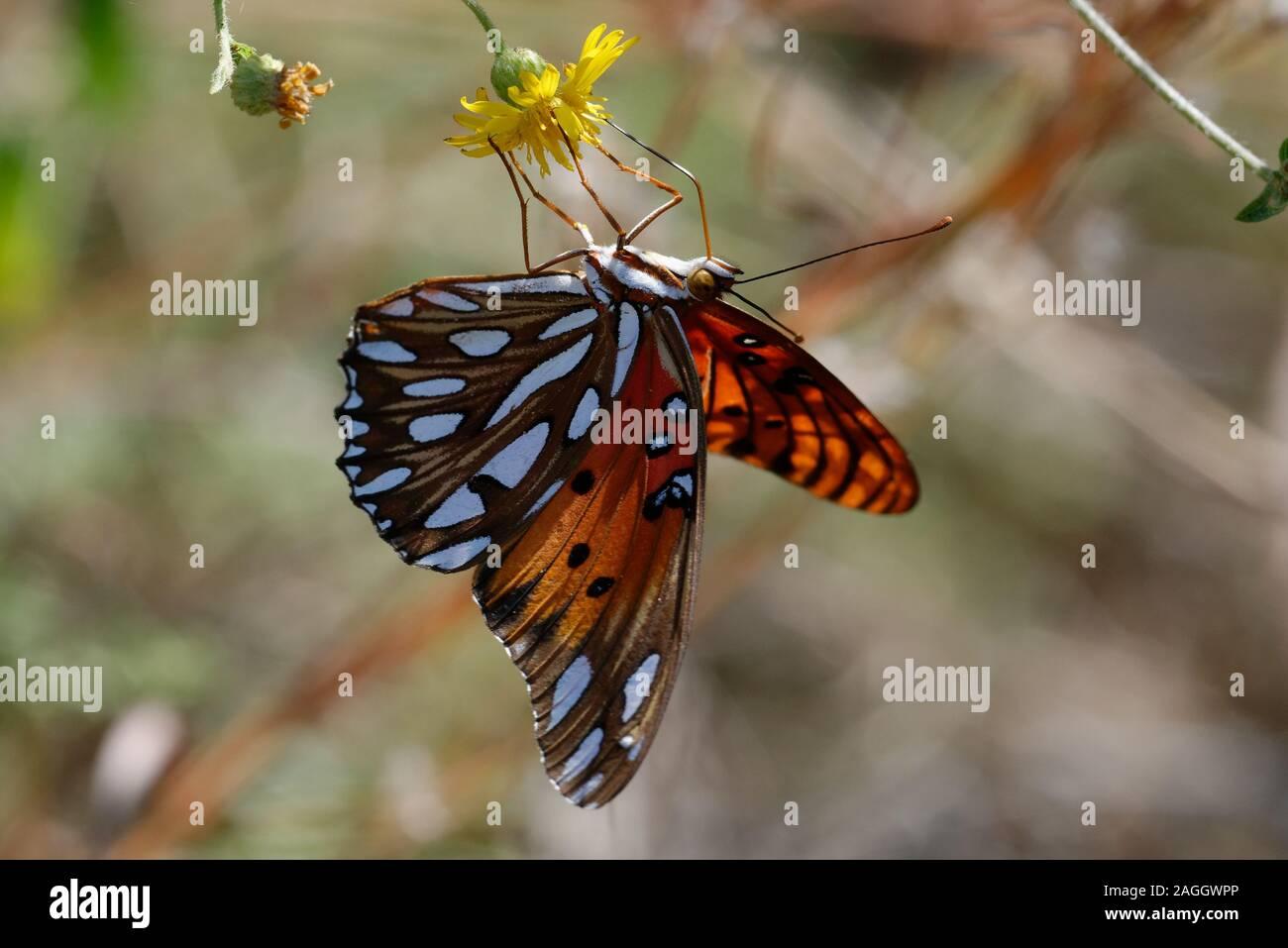 Golfo speyeria Butterfly alimentándose de flores Foto de stock