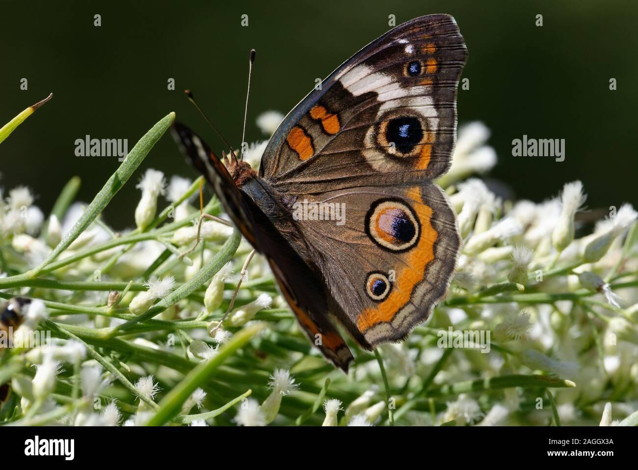 Buckeye común mariposa alimentándose de flores Foto de stock