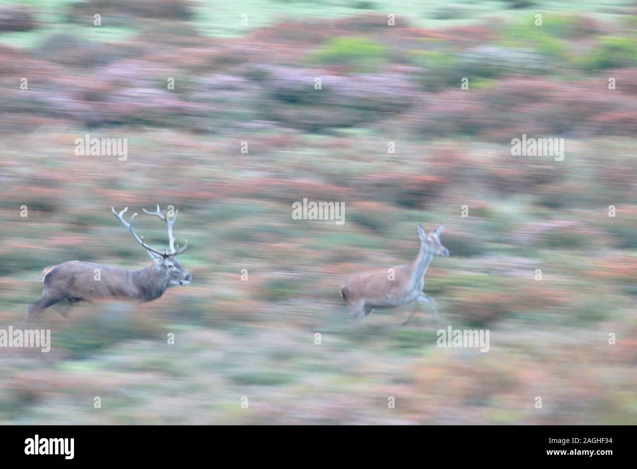 Septiembre 21, 2017. La berrea en el Parque Natural de Gorbeia (País Vasco). Foto de stock