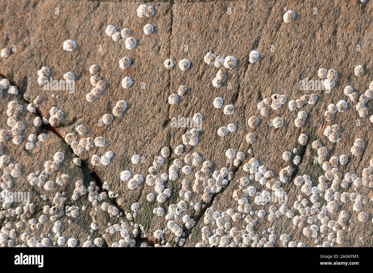 Percebe sobre rocas en Gairloch Playa, Highlands escocesas Foto de stock