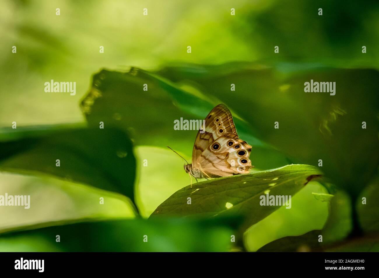 Un ojo-Perla del norte butterfly descansa sobre una hoja en el bosque en Yates Mill County Park en Raleigh, Carolina del Norte. Foto de stock