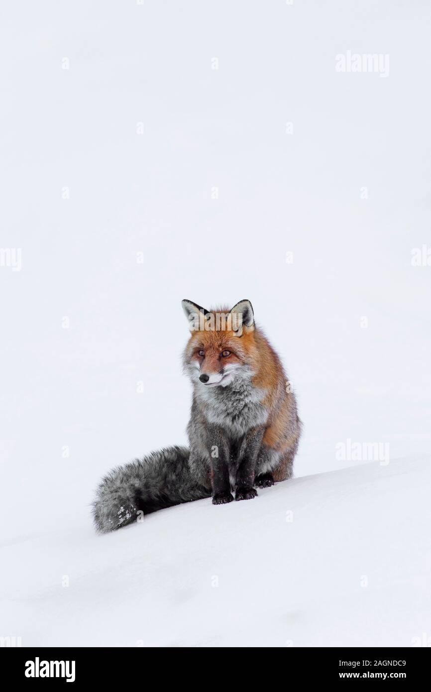 El zorro rojo (Vulpes vulpes) sentados en la nieve en invierno Foto de stock