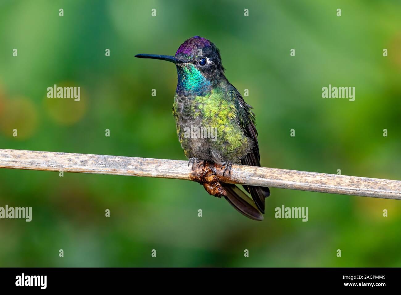 Los Talamanca hummingbird o colibrí magnífico (Eugenes spectabilis) es un colibrí grande sólo se encuentra en Costa Rica y partes de Panamá. Foto de stock