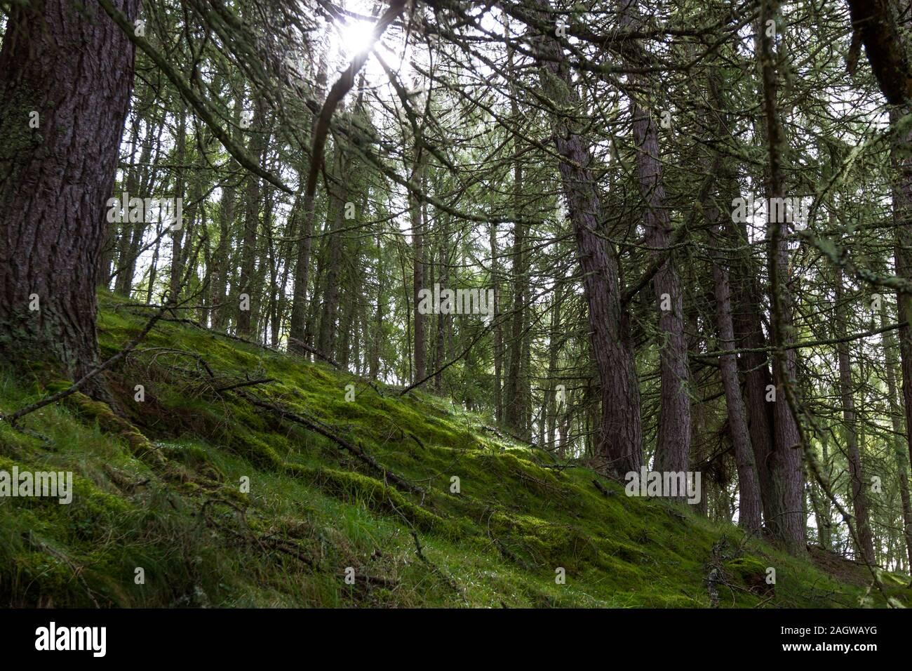 Hierba verde y rocas cubiertas de musgo rodeado por altos árboles en las Highlands escocesas Foto de stock