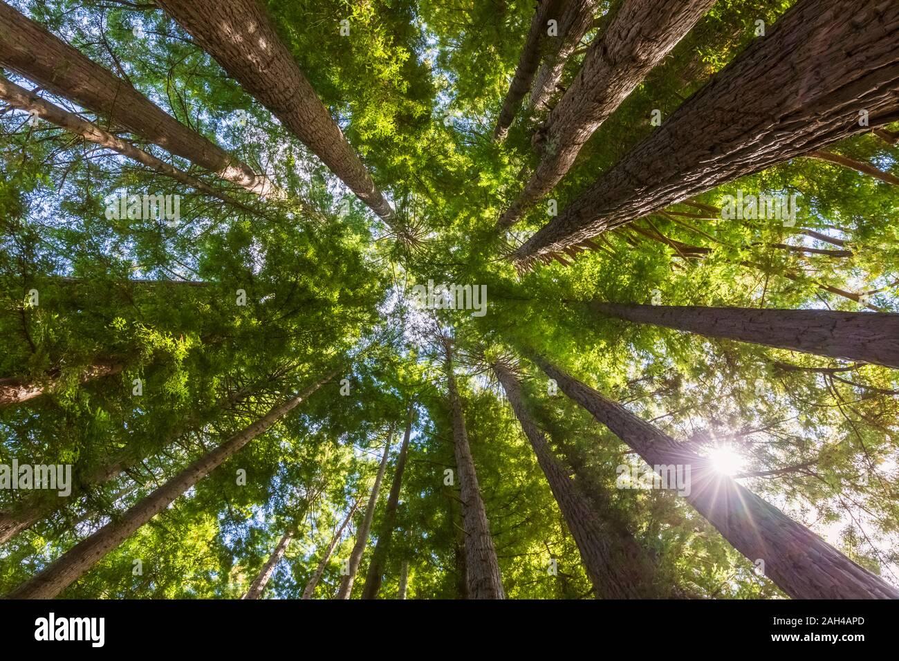 Nueva Zelanda, en Oceanía, en la Isla del Norte, Rotorua, Hamurana Springs Reserva Natural, vista de ángulo bajo bosque Redwood (Sequoioideae) Foto de stock