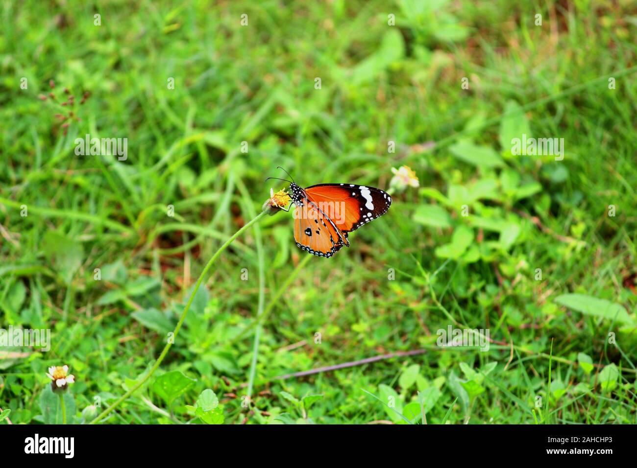 Butterfly succionar el néctar de una flor Foto de stock