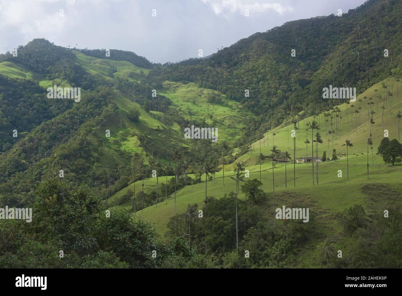 Palmas de cera (Ceroxylon quindiuense) en el verde Valle de Cocora, Salento, Colombia Foto de stock