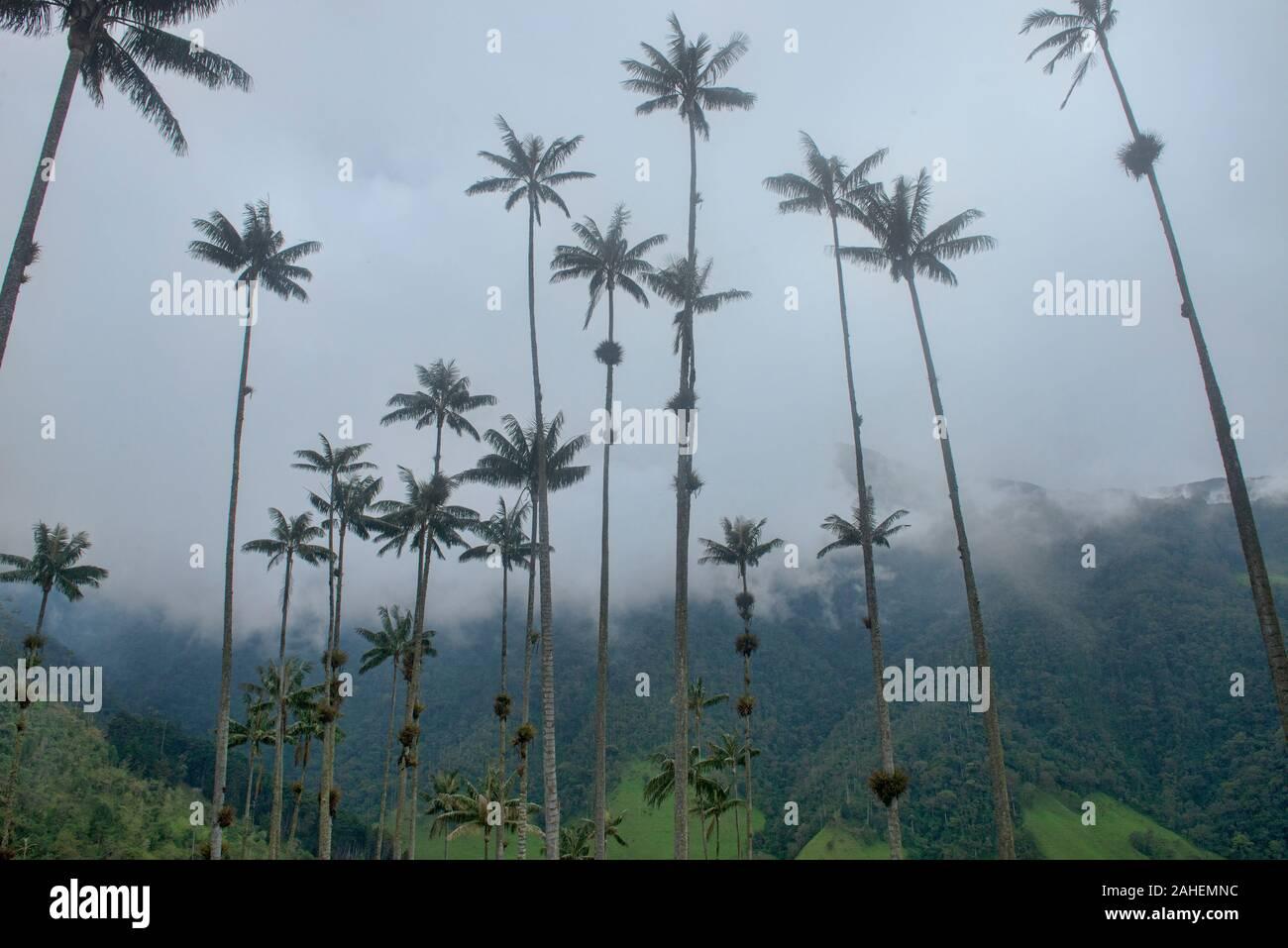 Palmas de cera (Ceroxylon quindiuense) en las palmas, el más alto del mundo, el Valle de Cocora, Salento, Colombia Foto de stock