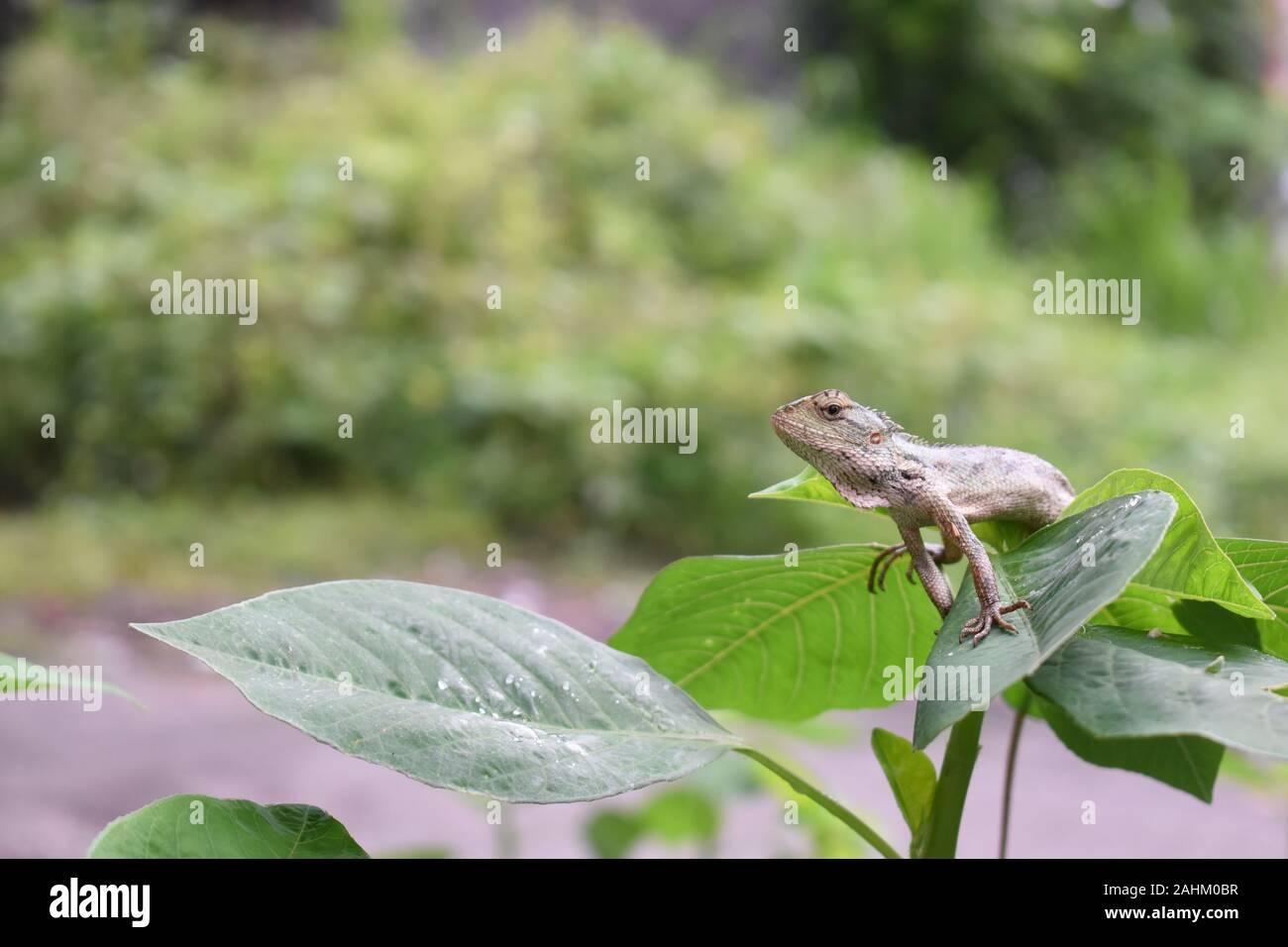 Jardín oriental (lagarto Calotes versicolor) el sol de la mañana. En la temporada de lluvias, su color de piel vuelta a verdoso. Foto de stock