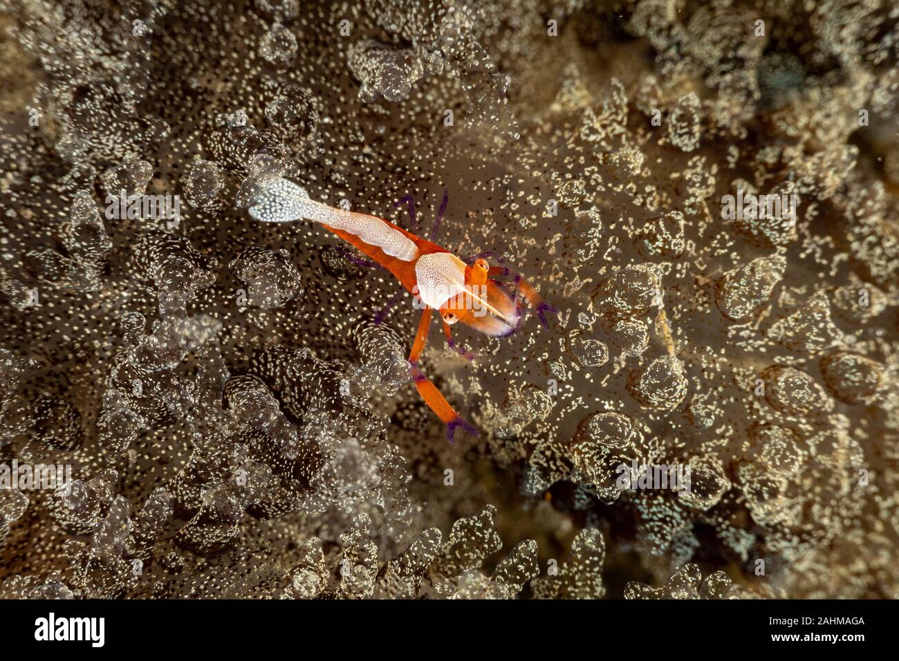 El emperador camarones, Periclimenes imperator, es un organismo de camarón con una amplia distribución en toda la región Indo-Pacífico Foto de stock