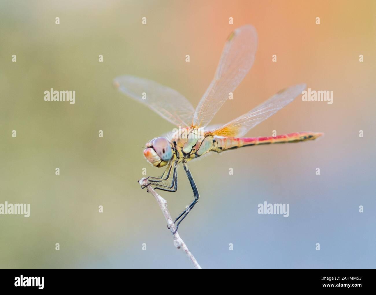 Fotografía artística de una libélula darter común descansa sobre una ramita en Creta Grecia Foto de stock