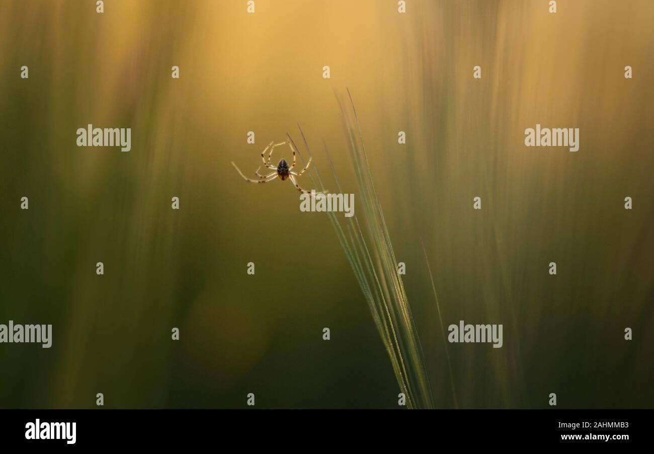 Pequeña araña sobre el césped con una luz dorada y la fotografía artística sentir Foto de stock