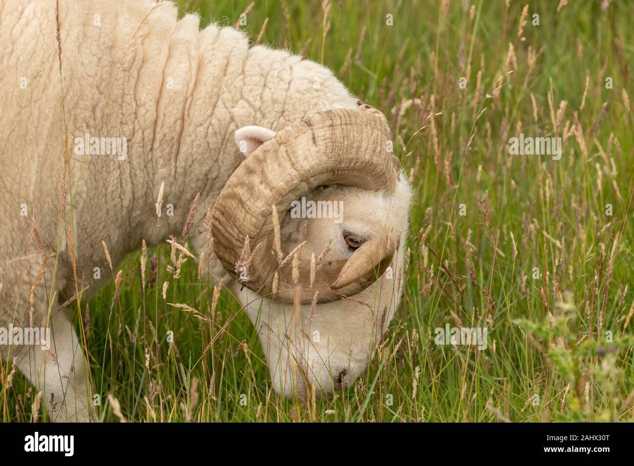 White-Faced Woodland, oveja de raza, el pastoreo en los pastizales en Orford Ness, Suffolk. Foto de stock