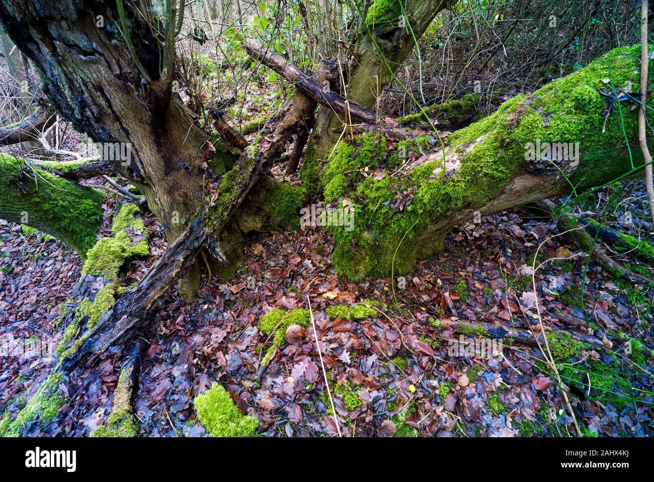 Paisaje de bosques en la zona de Beacon Wood Country Park de Kent en invierno, Inglaterra, Reino Unido, Europa Foto de stock