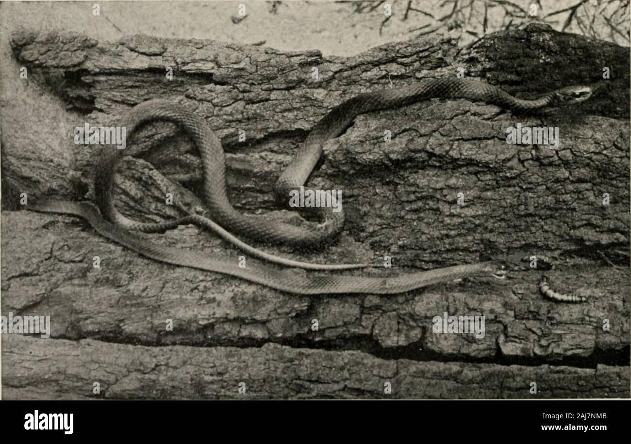El libro de reptiles; un amplio popularizó el trabajo sobre la estructura y los hábitos de las Galápagos, tortugas, cocodrilos, lagartos y serpientes que habitan en los Estados Unidos y el norte de México. KEELED GREEX SXAKE, Cydophis astwus v. idely distribuidos, especie verde uniforme. Las escamas son marcadamente keeled. La larva del insecto; constituyen el principal alimento. ?MOOTH-SCAT.F.n OREFA SERPIENTE, I.I,-lti^ rcr,,:,li<;Virloly iliMrihutcd y distinta del nrrroflinR •surri.-s ..viento yo thr sm..<,tli M :ilrs. I-Vcils arañas, y la larva de las polillas mariposas ami ^r.i.-compradores, grillos, El Toro serpientes exi Foto de stock