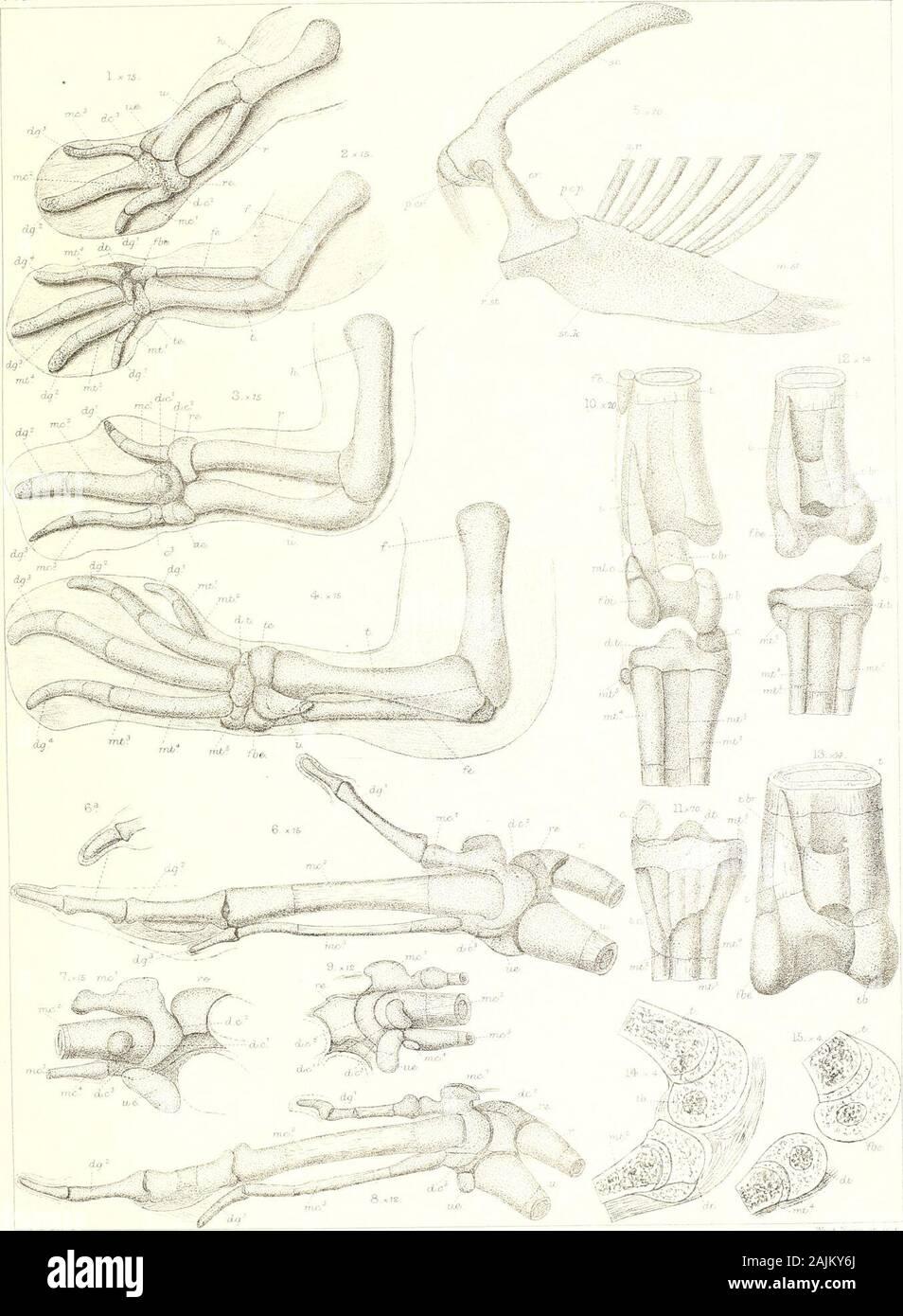 En la morfología del pato y las tribus auk . cess.Parasphenoid.pubis. Proceso clinoides posterior.Postcoraeoid proceso de ster- ner.p.c.s. p.e. V0- pii. p.ii. pr.i. pro. pr.z. p.d. p.s.e. pi. pt.: px. 1- aj- r.st. s.og.sc. S.ll. s.i.f. s.o. sp. sp.o. metros s.r.s.sc. San st.k. s.r. tb.t.e. te.t.eo. ts. u. r.v.a.r.b. ueit.S.R. Precoracoid. Pre-costal proceso de ster-num. Perpendicular etmoidal. Pterigoideos. Falange. Prenasal tribuna. Pre-Ilión. Prootic. Pre-zygaphophysis. Presphenoid. Canal semicircular posterior. Post-Ilión. Post-zygapophysis. Premaxila. Cuadrado. Quadrato- yugal. Radius. Ro Foto de stock