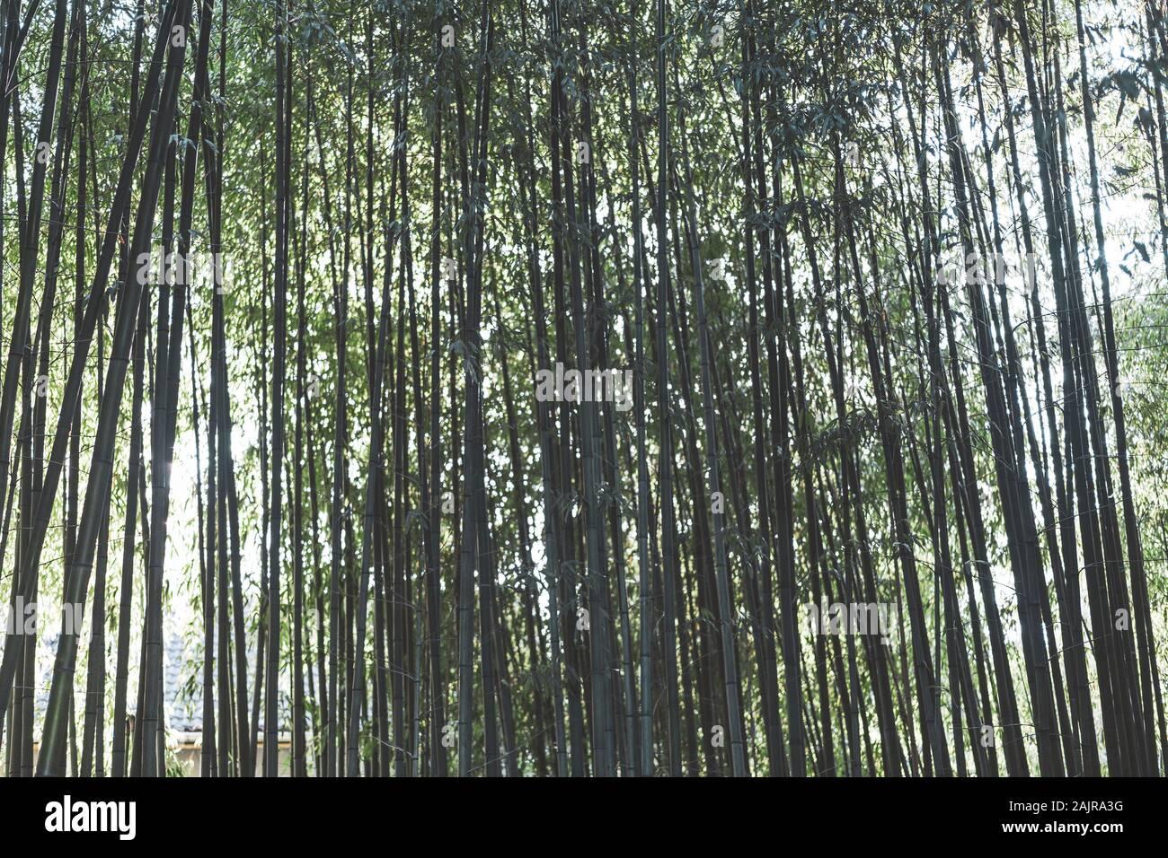 Bosque de bambú natural de fondo. Diseño de jardines japoneses, la jardinería. Spa Zen o concepto. Foto de stock