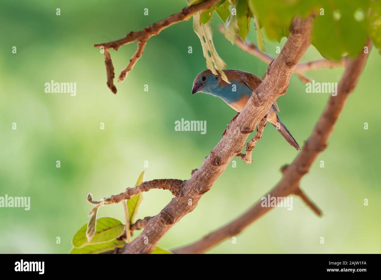 Cordonbleu Waxbill azul o meridional - Uraeginthus angolensis también conocido como azul-breasted, azul-cheeked waxbill o Angola cordon-bleu, especie de est Foto de stock