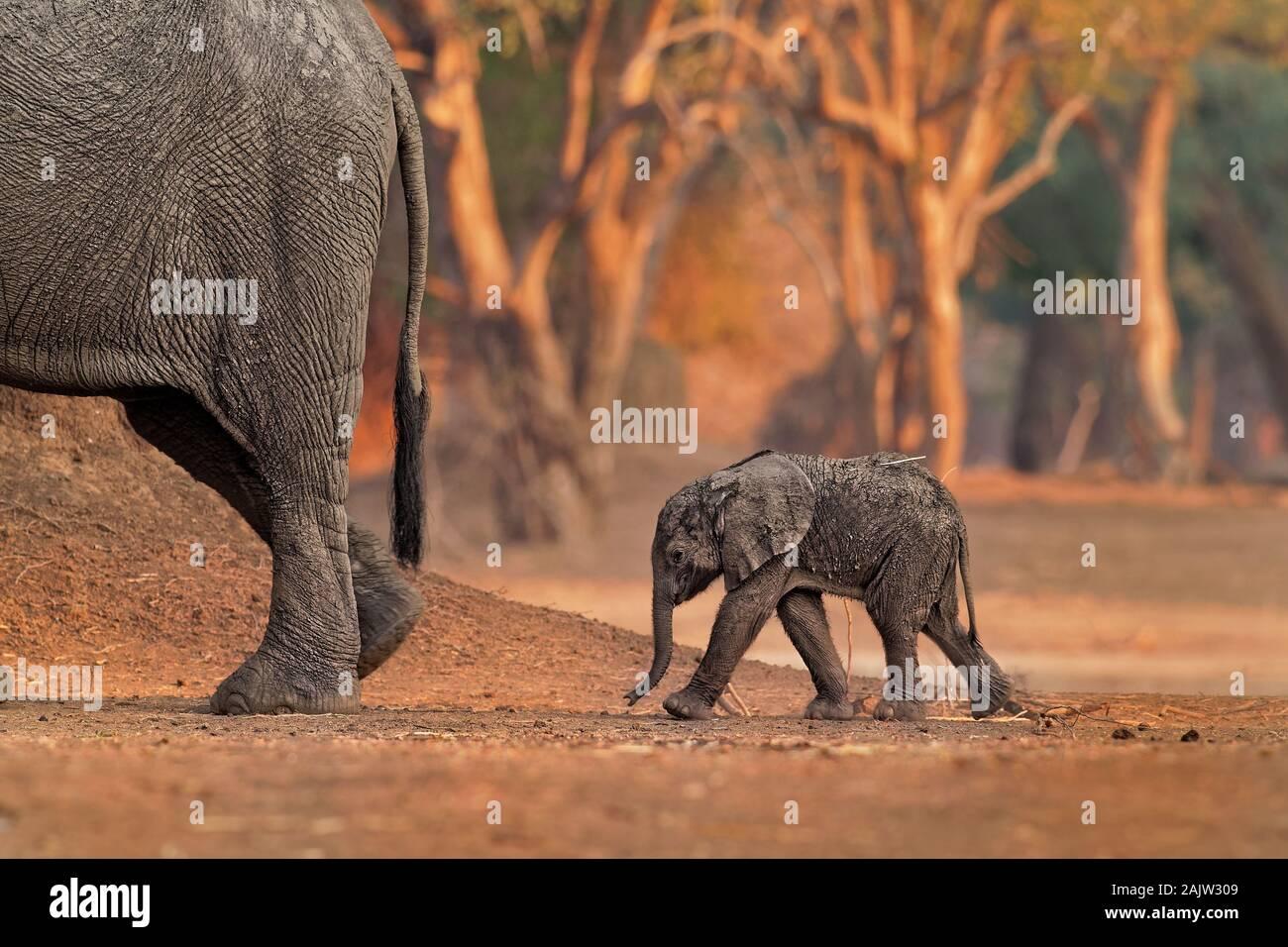 Bush - Elefante Africano Loxodonta africana pequeño bebé elefante con su madre, beber leche, chupar, caminando y comiendo hojas en Mana Pools de Zim Foto de stock
