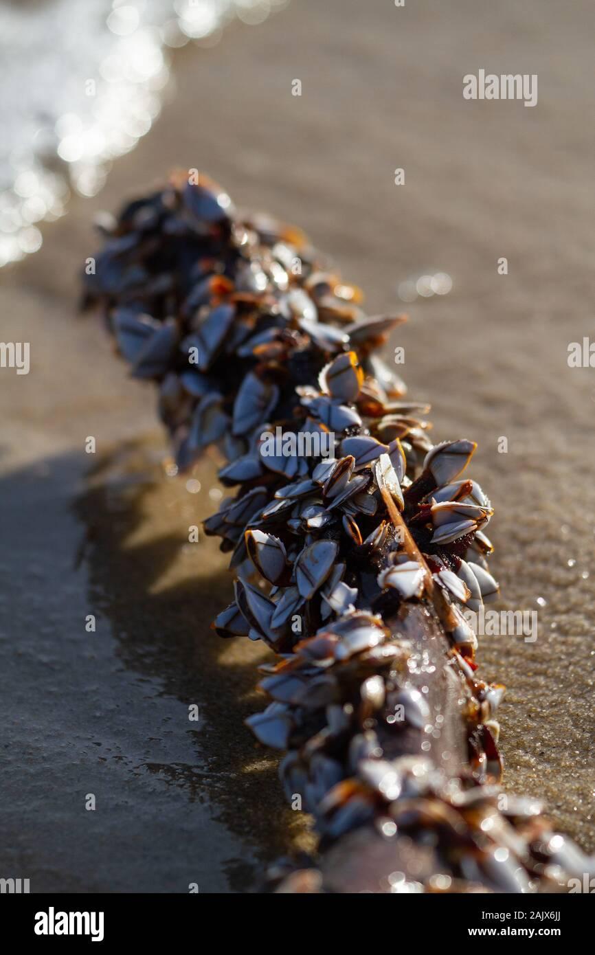 Las Almejas de cuello de cisne Foto de stock