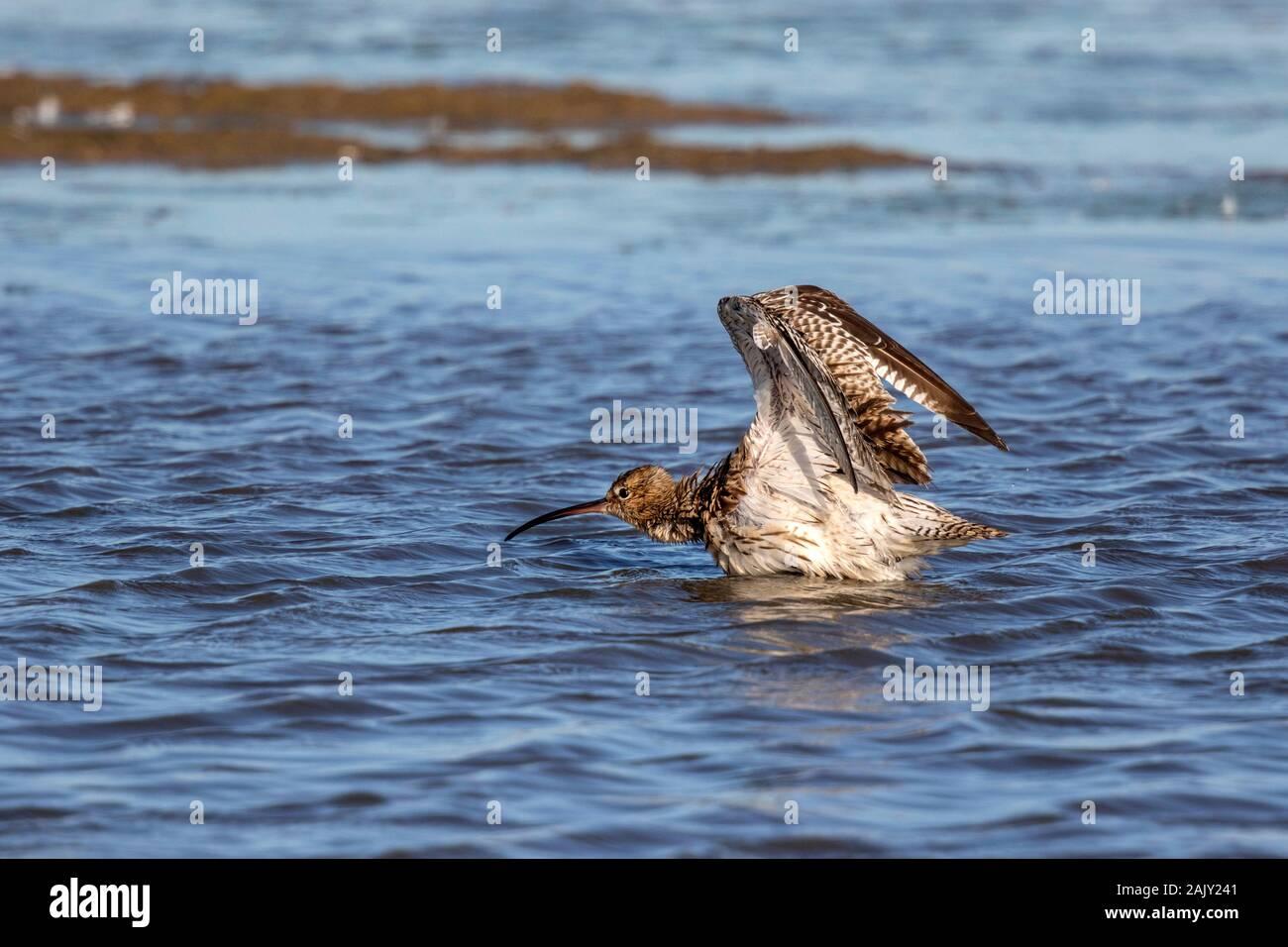 Curlew lavado en agua dulce, Deepdale Marsh en Norfolk. Foto de stock