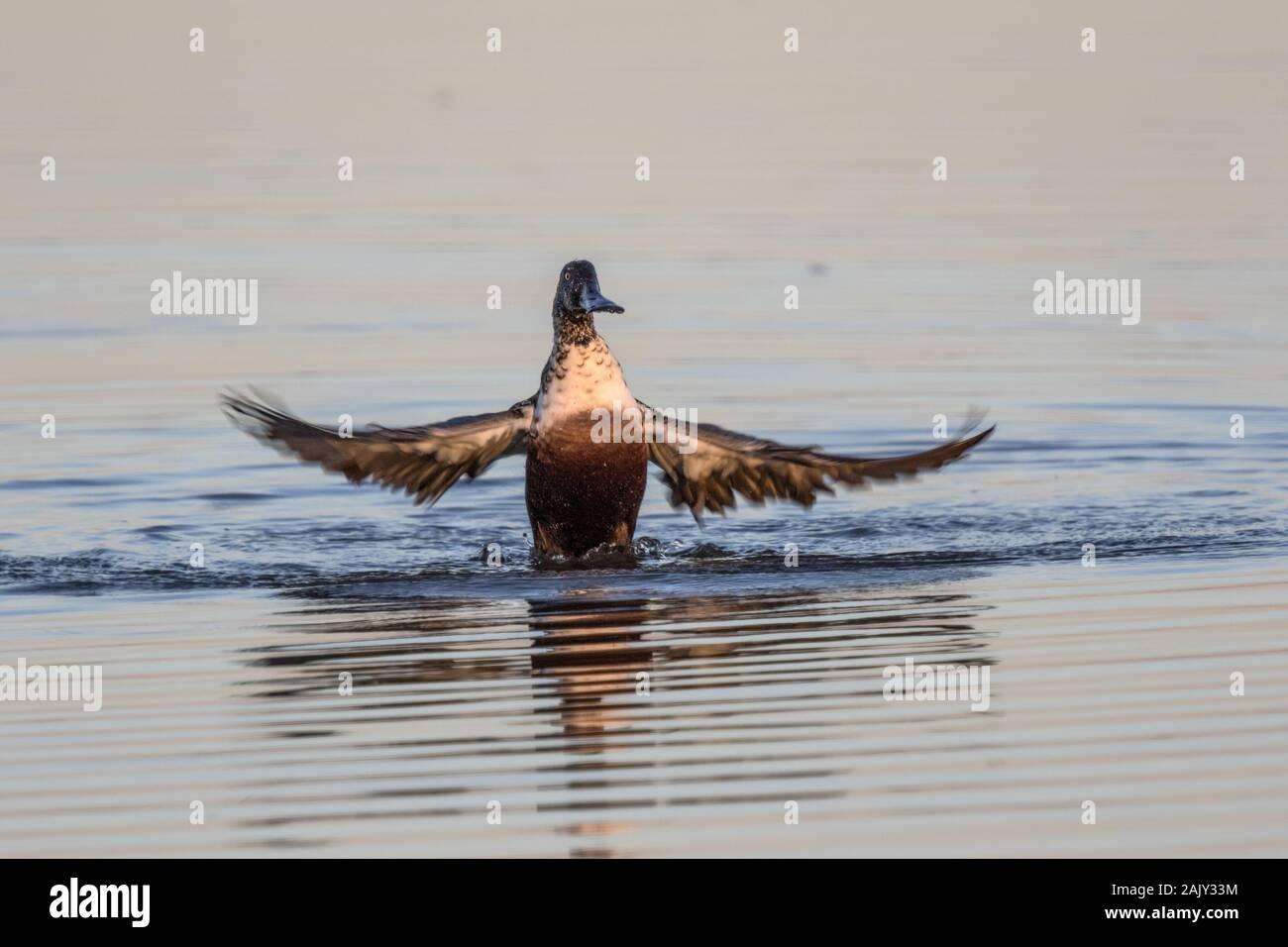 Cuchareta lavado en agua dulce Deepdale Marsh Norfolk Foto de stock