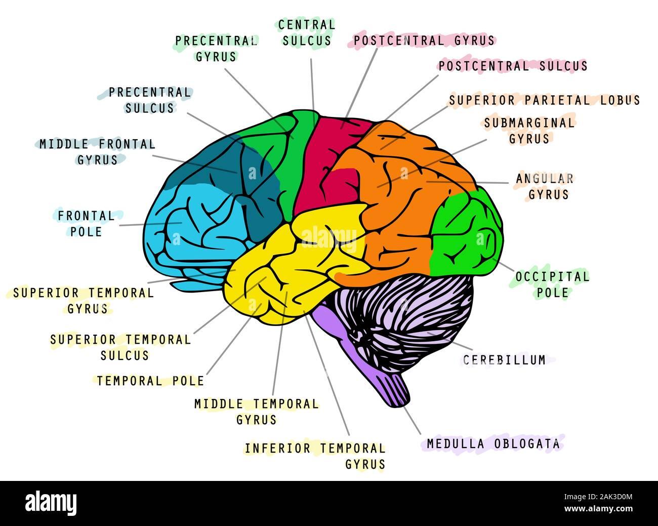 Ilustración de la anatomía del cerebro humano sobre fondo blanco. Ideal para libros escolares Foto de stock