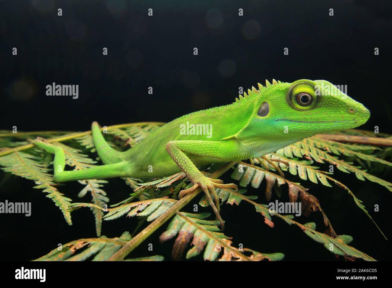 Lagarto crestado verde Bronchocela cristatella Foto de stock