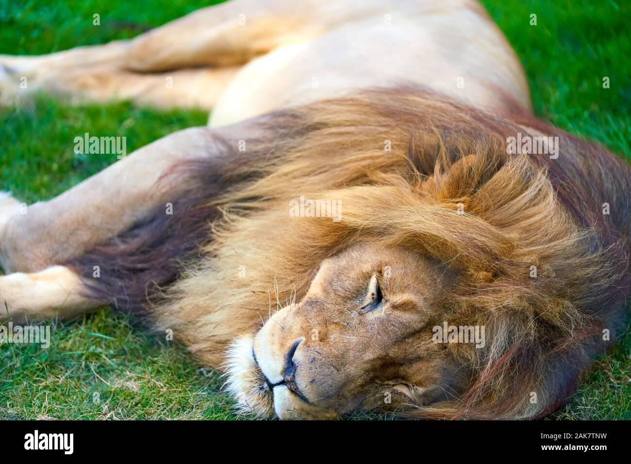León de Sudáfrica Foto de stock
