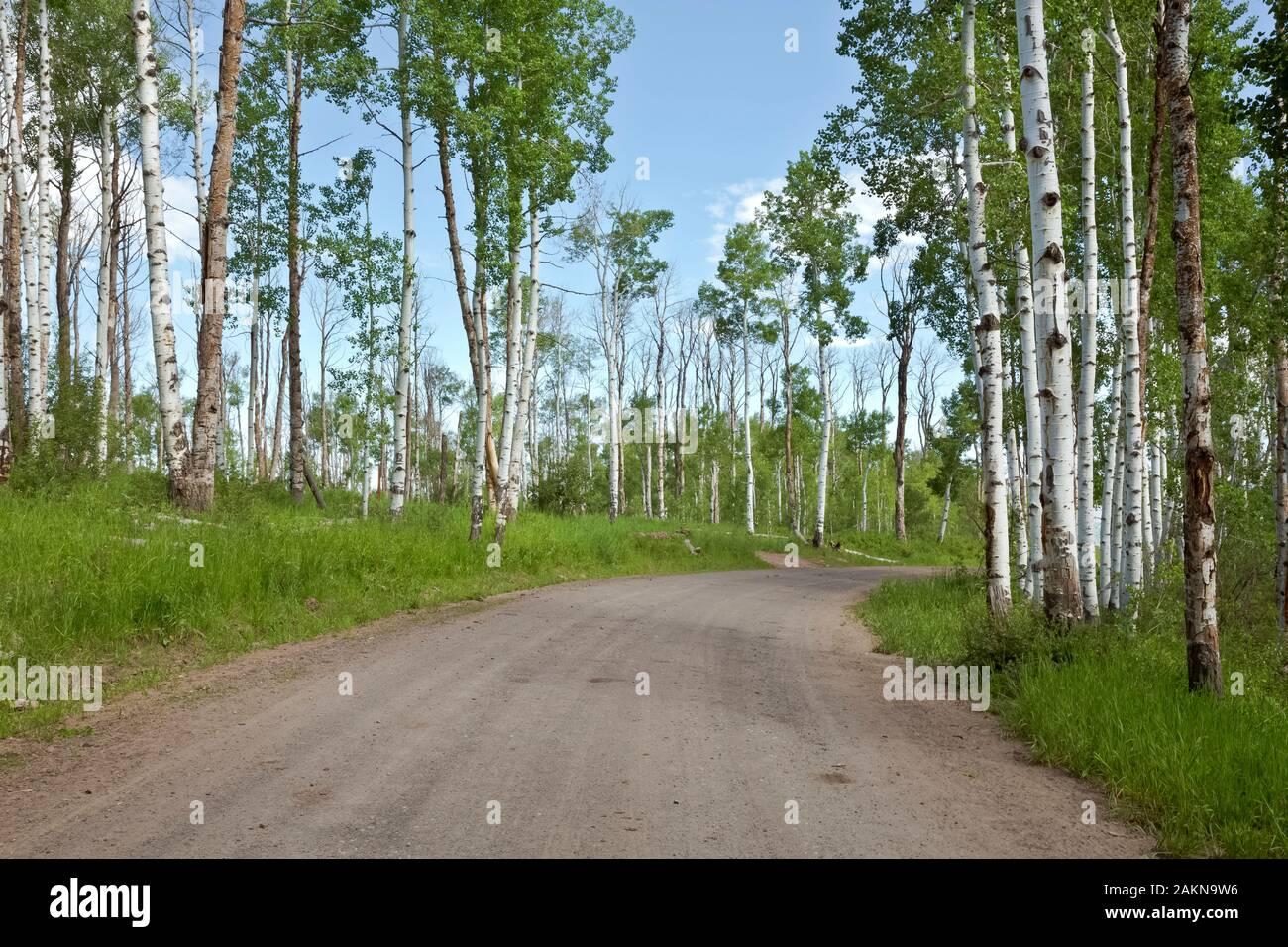 CO00205-00...Colorado - Aspen árboles que bordean por la carretera 129 en la sección alternativa Columbine de la gran brecha de ruta en bicicleta de montaña. Foto de stock