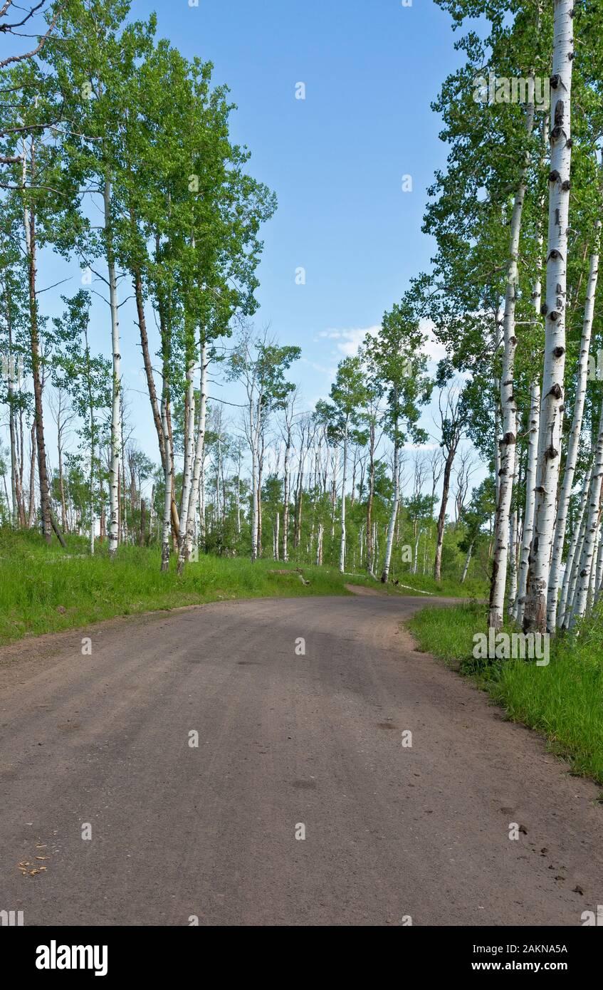 CO00206-00...Colorado - Aspen árboles que bordean por la carretera 129 en la sección alternativa Columbine de la gran brecha de ruta en bicicleta de montaña. Foto de stock