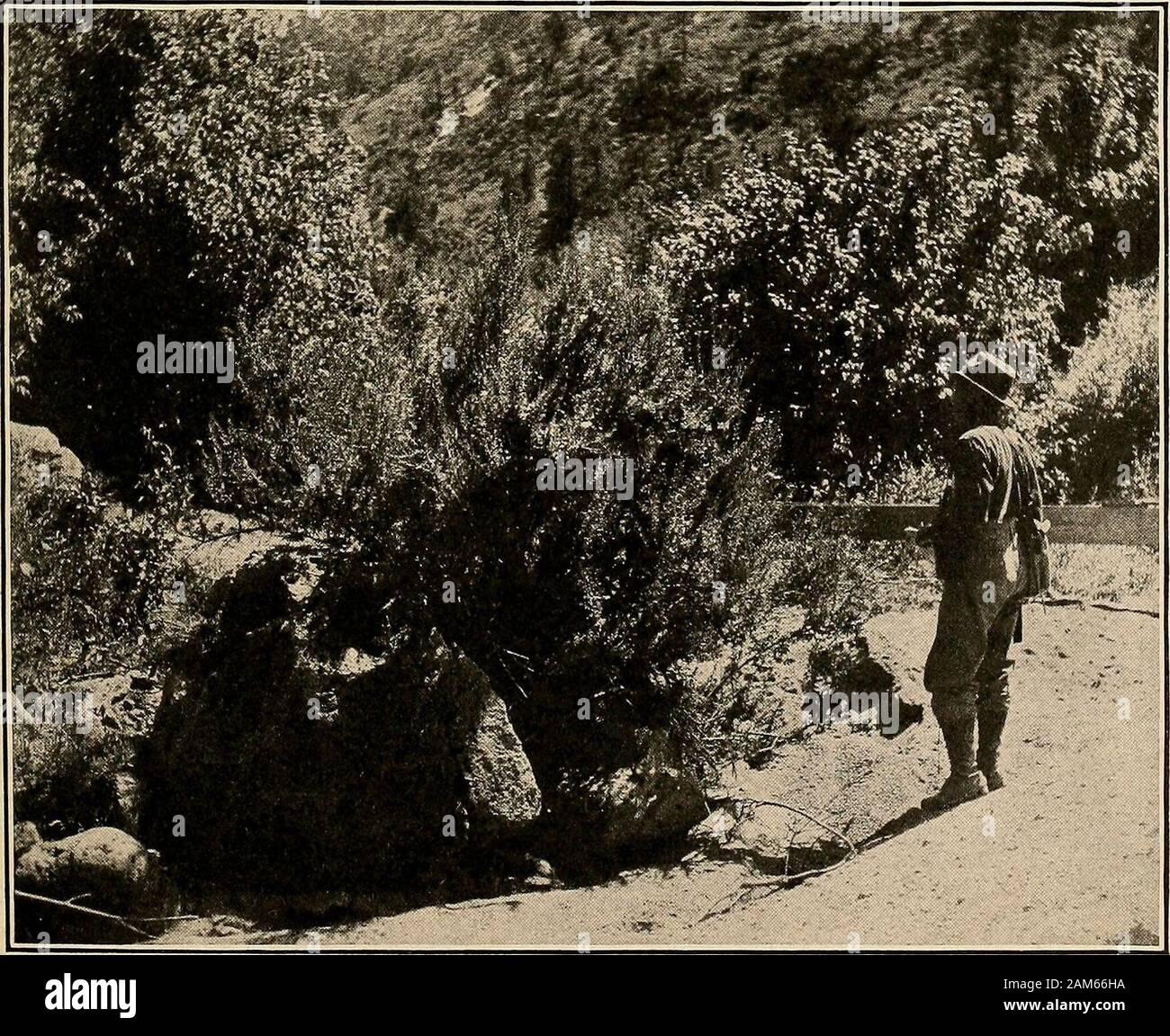 """La etnobotánica de los indios Tewa . A. CAÑÓN DE EL RITO DE LOS FRIJOLES, MOSTRANDO STREAMSIDE bosques y arbustos (cepillo NUMEROUSRABBIT CHRYSOTHAMNUS BIGELOVII) EN PRIMER PLANO EN TALUSSLOPE.. B. PLUMED ARROYO arbusto (FALLUGIA paradoxa) en el cañón del arroyo EN EL RITO DE LOS frijoles. PRMRE-MfRlfreo™*^^] la etnobotánica DE LOS INDIOS TEWA 57 a San Ildefonso las hojas masticadas son puestas en un dolor o hinchazón,y en Santa Clara, las raíces son utilizadas como remedio para la diarrea. Pyrjywihi^ Mountain slope(p^*??, la montaña; 7?^""""^/^^, pendiente).Por qué la planta debe ser llamado así no podía explicarse.Laciniaria Foto de stock"""