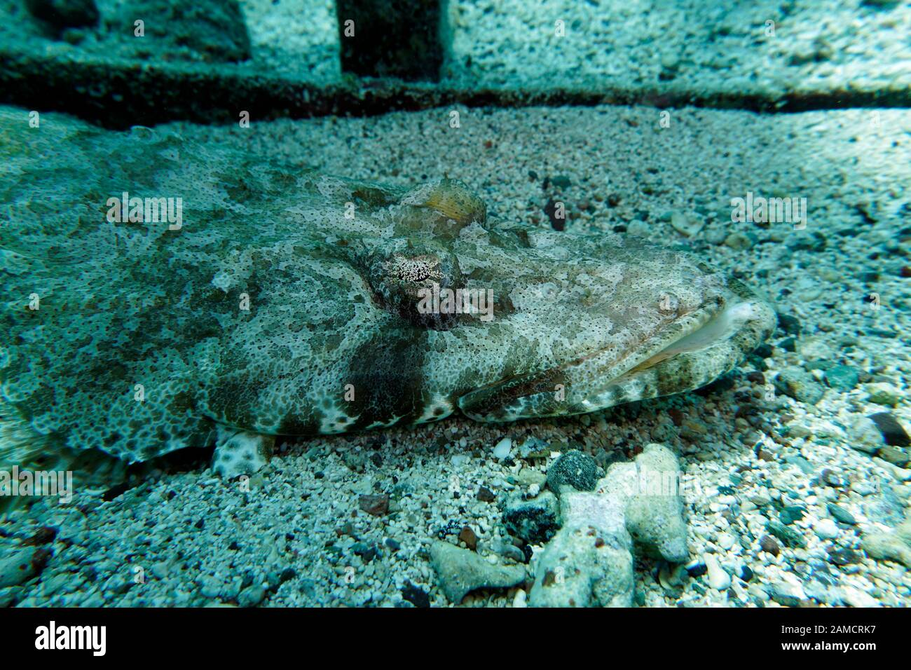 (Papilloculiceps Teppich-Krokodilfisch longiceps), El Quseir, Ägypten Foto de stock