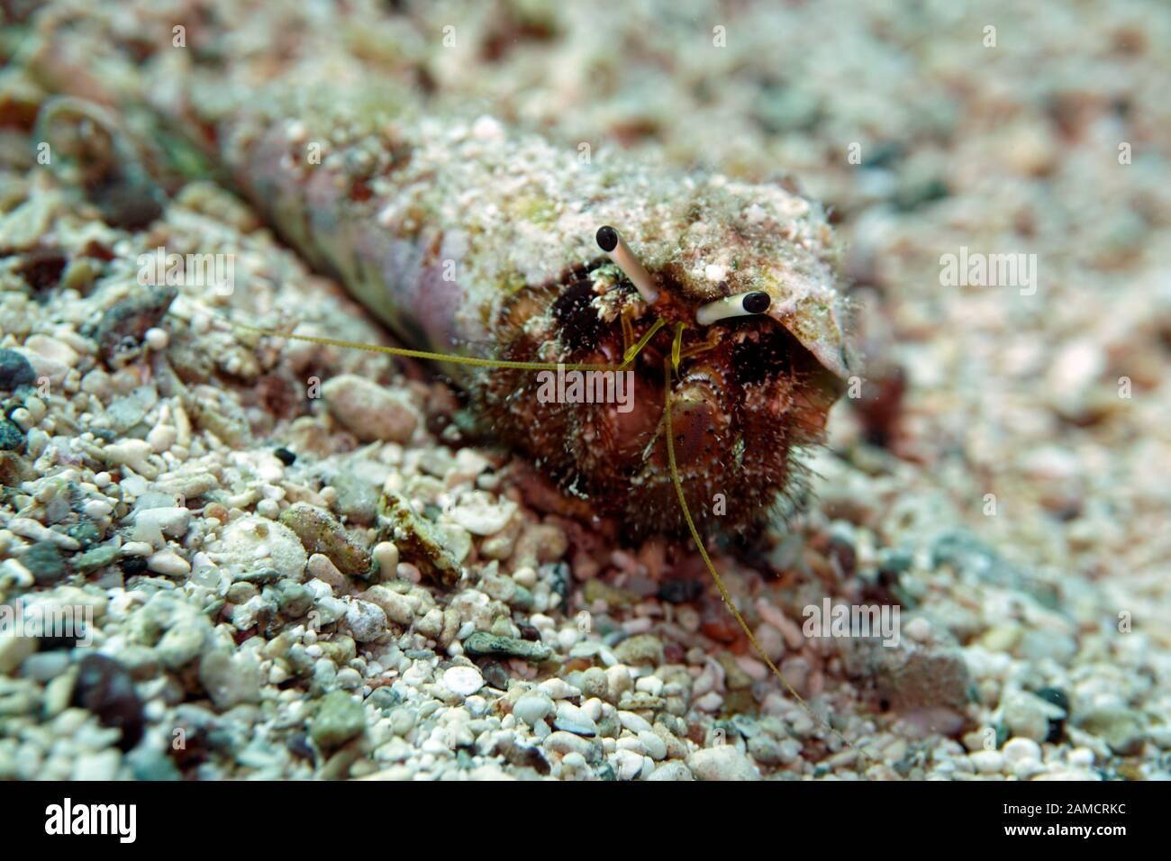 Einsiedlerkrebs en einer spiralförmigen Muschel Foto de stock