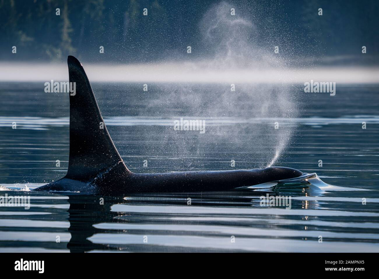 A66 - Surf - Familia: A22's. Ballena asesina masculina residente en el norte (Orcinus orca), estrecho de Johnstone en la isla de Vancouver, Columbia Británica, Canadá. Foto de stock