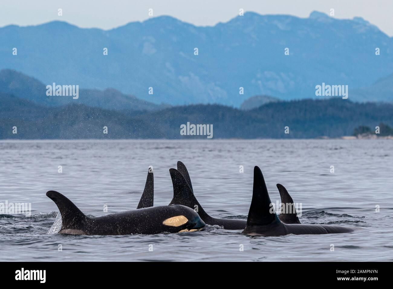 A30's, orcas residentes en el norte de I35s (Orcinus orca) en el estrecho de Queen Charlotte cerca del Archipiélago de Broughton, Territorio De Las Primeras Naciones, Brit Foto de stock