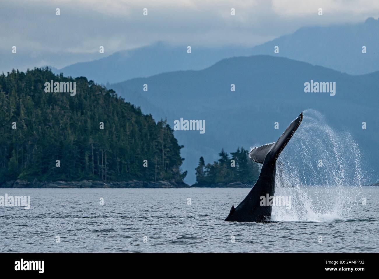 La cola de ballena jorobada está cerca de Blackfish Sound, en la isla de Vancouver, cerca del Archipiélago de Broughton, Territorio De Las Primeras Naciones, Isla de Vancouver, Brit Foto de stock