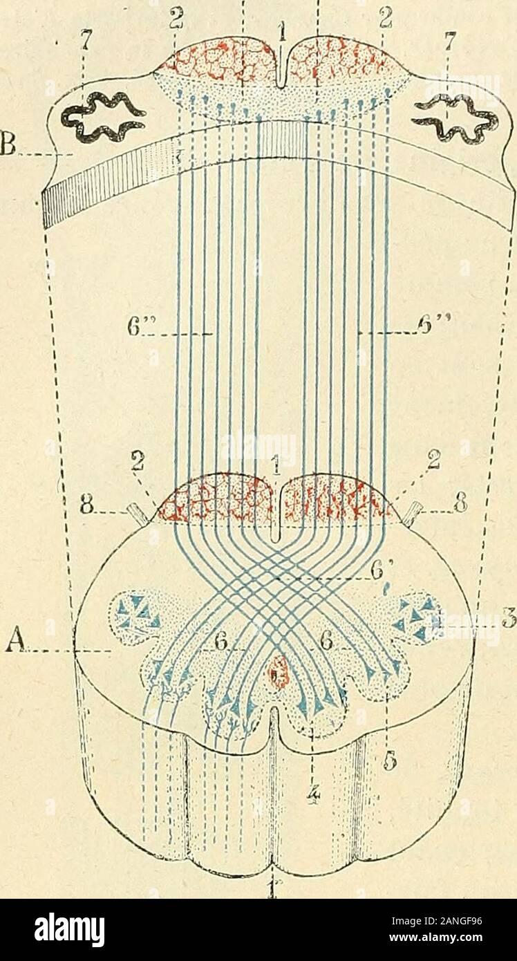 Traité d'anatomie humaine . , (Oril jLabli ( uc les laiscciinv sonsilirs cii couinionconL à scnlrccroisci quelors(IUC les faisceaux inoLcurs ont (lijù, onociui leur liiliurroiscmenL. Quelques arimjes plus: cl DEBOvr manteca de cerdo.go.iij.ui.T (.IRC/i. de Neurologie, 18.S1), la UE (texamincr ayaiil roecasion le bulbe flunsujet qui avait succombe à une schMose lab-acreditaciones aiuyoliopbiqii. mil lciiconlré des libres sensi-tes lcsléos saines au milieu ¿liitics midrices di.giniii0.s. Ils ne oui conclusiones i ue les libres. lig. 3-70. Schéma loii monlranl.iiiii;Toisemcnt du rub,ui i lenlTO-cil. Una, la Coupe du bulbe pa Foto de stock