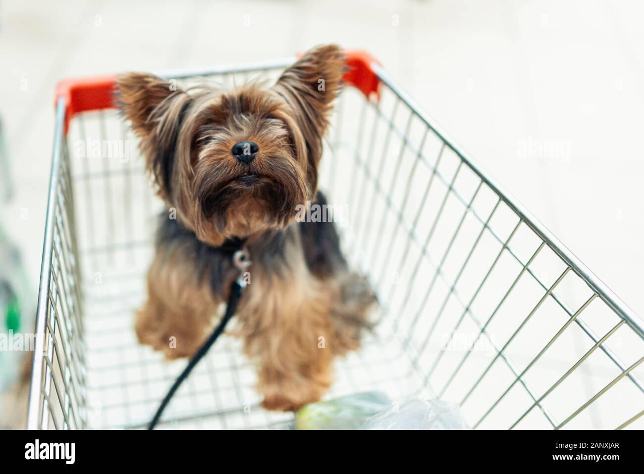 Poco lindo perrito sentado en un carrito de la compra en la tienda borrosa mall Antecedentes. El enfoque selectivo macro shot con poca DOF vista desde arriba. Don conceptio Foto de stock