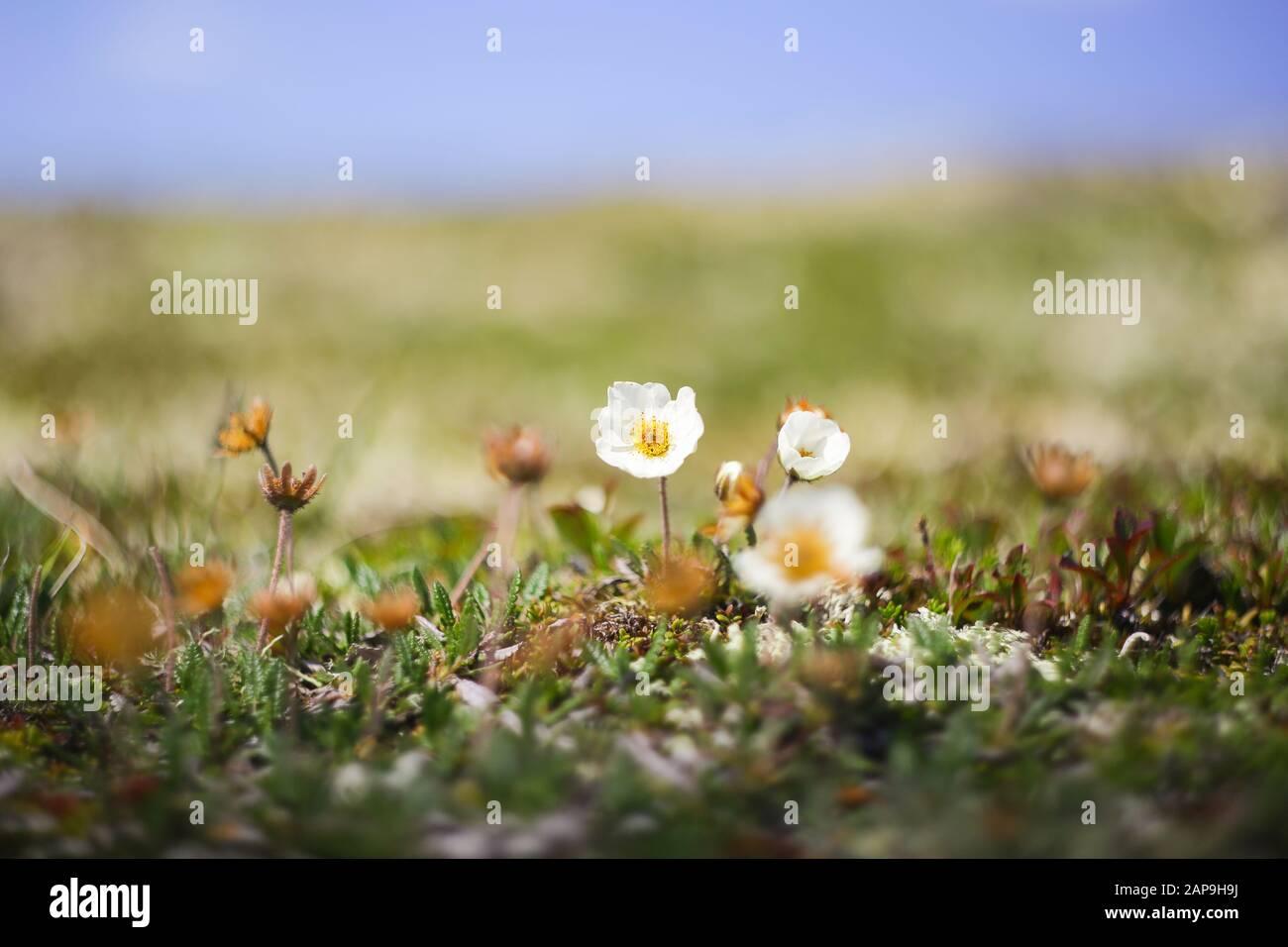 Fondo de verano con flora alpina en las montañas Foto de stock
