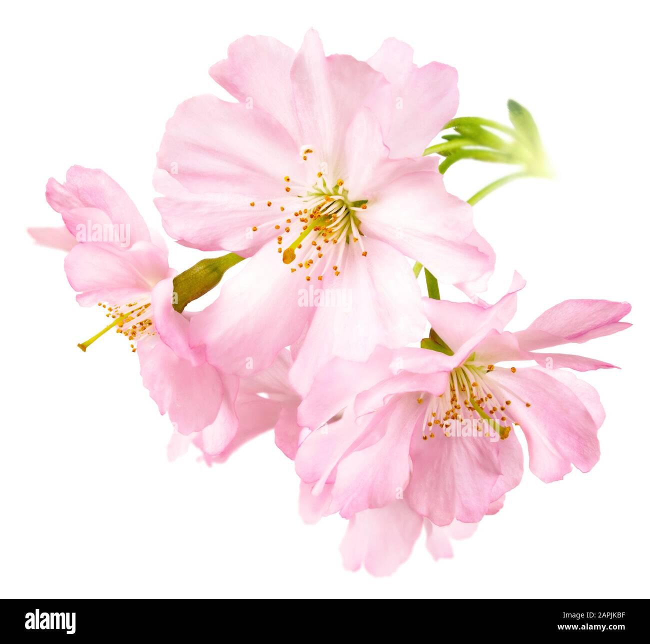 Aislamiento de estudio de los delicados cerezos en flor rosa brillante en formato cuadrado Foto de stock