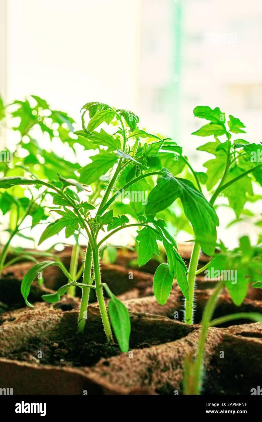 plantas de tomate en macetas de turba y papel en la ventana. Sustitución del plástico por un material biodegradable respetuoso con el medio ambiente. Primer plano. Foto de stock
